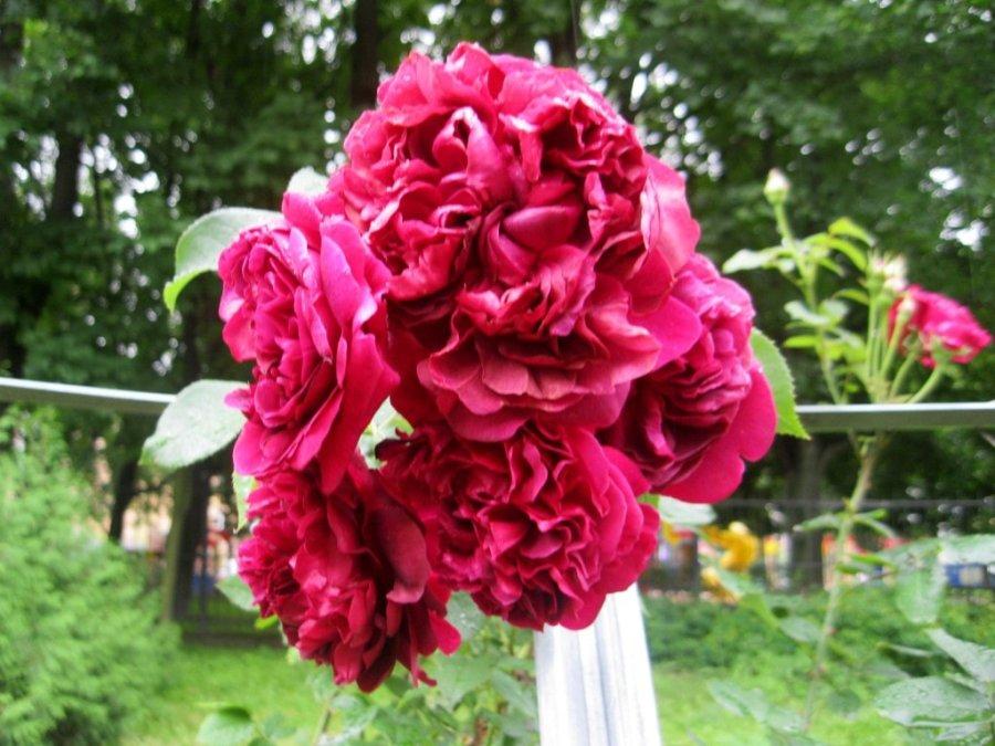 Розы --