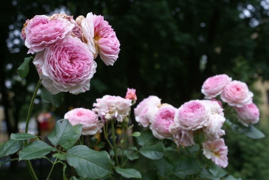 Роза-