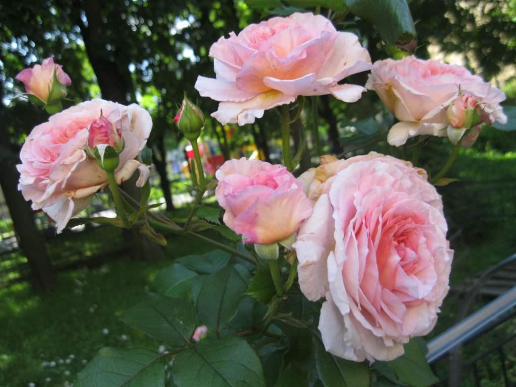 цветут долго