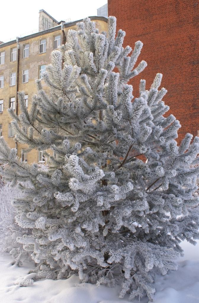 Сосна в снегу-min