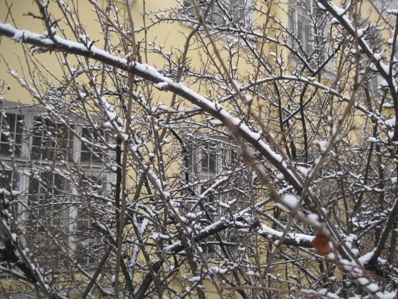почек нет, только снег-min