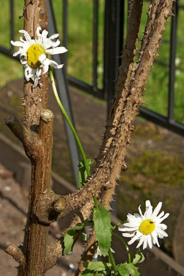 ромашки начали цвести