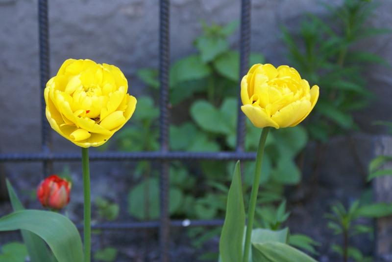 первый день цветения