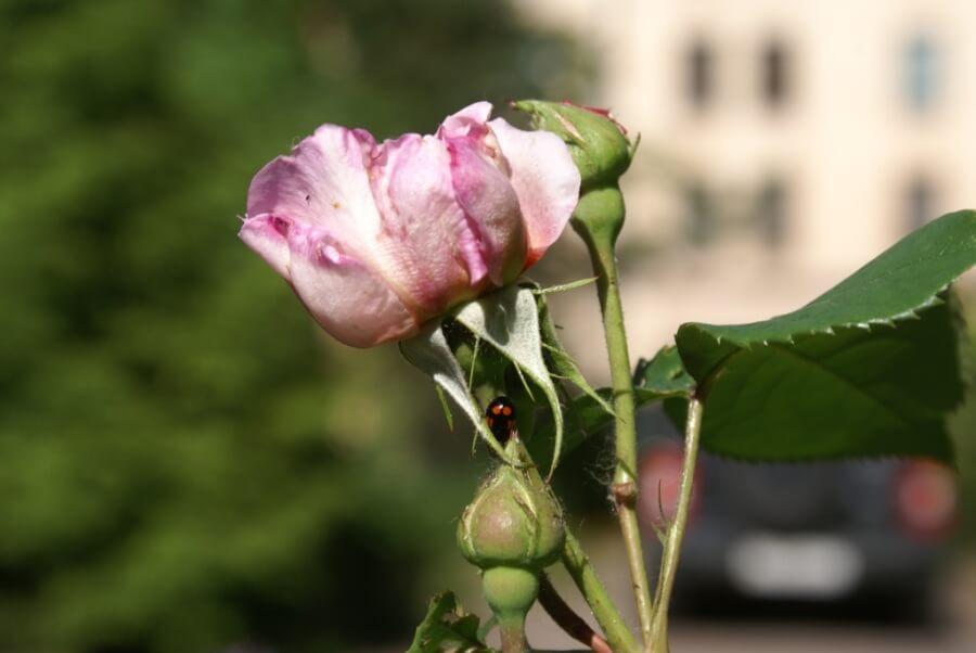 Роза с божьей коровкой