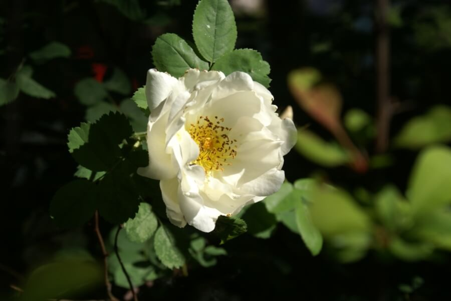 роза садовая
