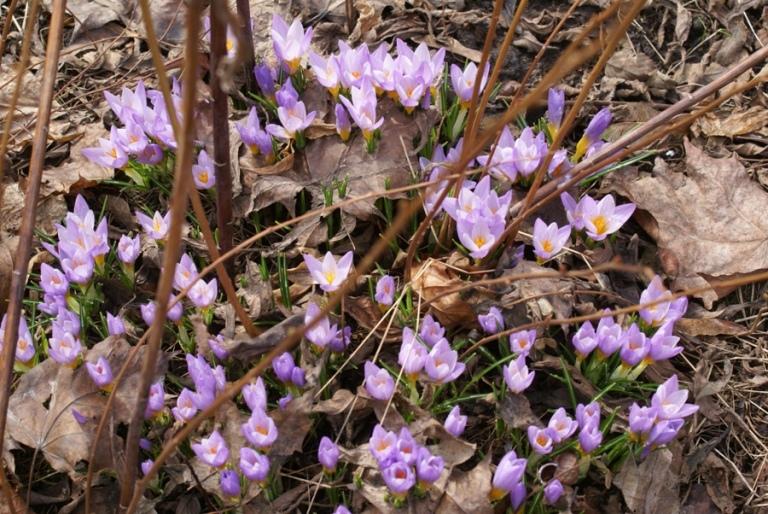 Крокусы апрель
