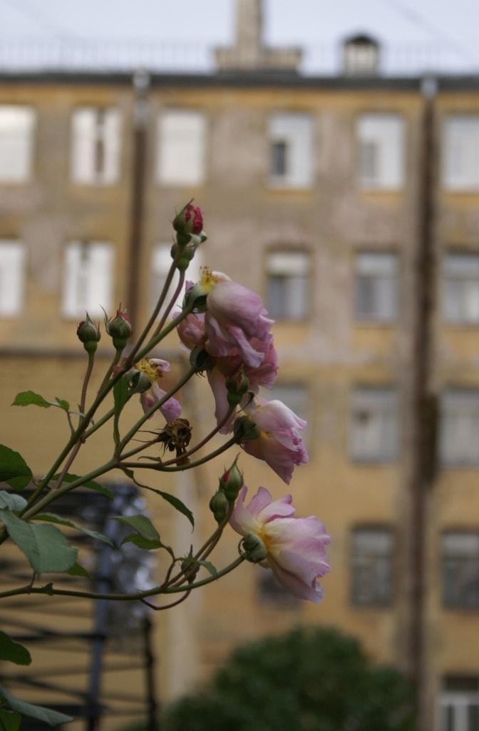 Роза осень