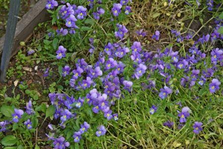 Фиалки фиолетовые