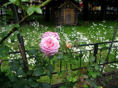 Розы,