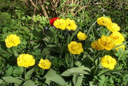 Тюльпаны-