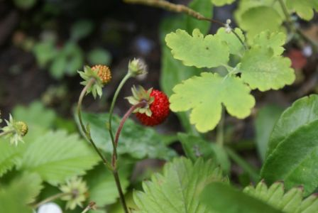 Земляника-первая красная ягода