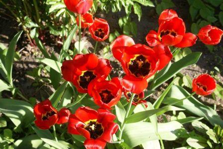 Тюльпаны как маки