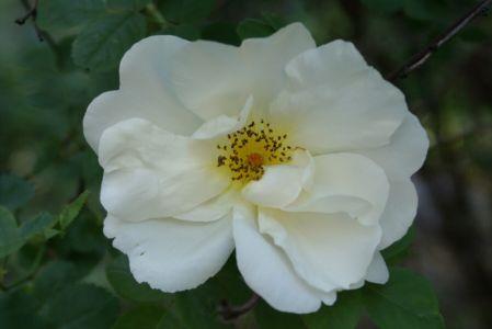Белая роза садовая,