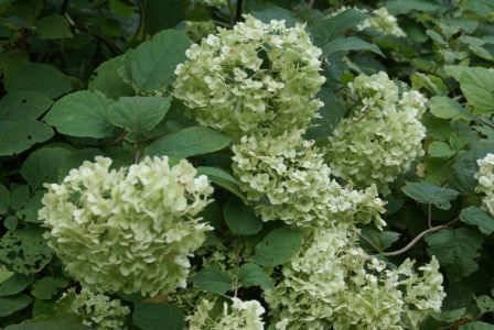Гортензия сменила белый цвет цветков на зеленоватый